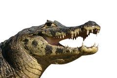 Spectacled Caiman, Caiman Crocodilus Stockbild