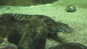 Spectacled caiman Caiman crocodilus, also known as white caiman or common caiman stock footage video. Spectacled caiman Caiman crocodilus, also known as the stock footage