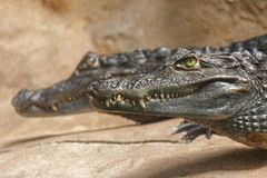 Spectacled caiman or Caiman crocodilus Stock Images