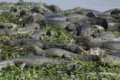 Spectacled caiman, Caiman crocodilus. Group of animals in water, Brazil stock photos