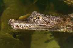 Spectacled caiman caiman crocodilus head in the water. Spectacled caiman caiman crocodilus head in the water royalty free stock photo