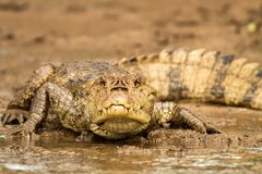 Spectacled Caiman - Caiman crocodilus lying on river bank in Cano Negro, Costa Rica, big reptile in awamp, close-up crocodille. Portrait, dangerous hunter royalty free stock photography
