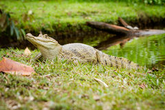 Spectacled caiman (Caiman crocodilus) by the river. (Caiman crocodilus), also known as the white caiman stock image