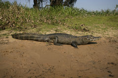 Spectacled caiman, Caiman crocodilus. Single animal by water, Brazil stock photography