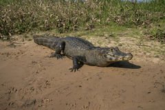 Spectacled caiman, Caiman crocodilus Stock Image