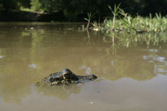 Spectacled caiman, Caiman crocodilus Stock Photography