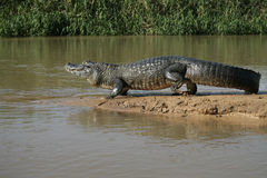 Spectacled caiman, Caiman crocodilus. Single animal by water, Brazil stock images