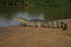 Spectacled caiman, Caiman crocodilus Royalty Free Stock Image
