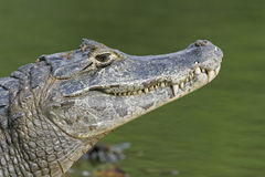 Spectacled caiman, Caiman crocodilus, Stock Images