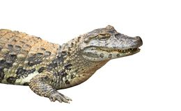 Spectacled caiman or common white caiman crocodile Caiman crocodilus close-up isolated on white background. Spectacled caiman or common white caiman Caiman stock photos
