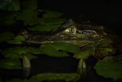 Spectacled caiman - crocodilus Caiman стоковые фотографии rf