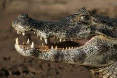 Spectacled caiman, crocodilus Caiman Стоковое Фото