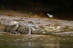 Spectacled Caiman - Caiman crocodilus lying on river bank in Cano Negro, Costa Rica, big reptile in awamp, close-up crocodille. Portrait, dangerous hunter stock images