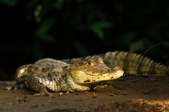 Spectacled Caiman - Caiman crocodilus lying on river bank in Cano Negro, Costa Rica, big reptile in awamp, close-up crocodille. Portrait, dangerous hunter stock photos