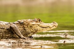 Spectacled Caiman - Caiman crocodilus lying on river bank in Cano Negro, Costa Rica, big reptile in awamp, close-up crocodille. Portrait, dangerous hunter royalty free stock photo