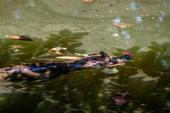 Spectacled caiman Caiman crocodilus in a pond near La Fortuna, Costa Ri. Ca stock images