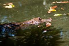 Spectacled caiman Caiman crocodilus in a pond near La Fortuna, Costa Ri. Ca stock photography