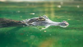Spectacled caiman or Caiman crocodilus swimming in water stock image