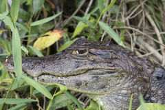 Spectacled Caiman hiding in  a grass. Spectacled Caiman Caiman crocodilius in Tortuguero, close-up of head Stock Photo