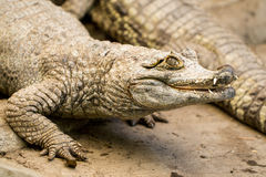 Spectacled Caiman Low Angle Royalty Free Stock Photography