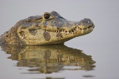Spectacled caiman, Pantanal. Spectacled caiman (caiman crocodilus) in the wild in the northern Pantanal, Mato Grosso, Brazil Royalty Free Stock Images
