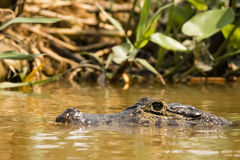 Spectacled Caiman Skulking Just Above Water Stock Photo