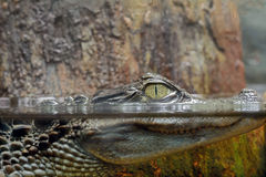 Spectacled caiman Stock Photography