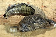 Spectacled Caiman in Water Stock Photo