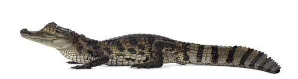 Spectacled Caiman on white background