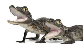 Spectacled Caimans, Caiman crocodilus. Also known as a the White Caiman or Common Caiman, 2 months old, close up against white background stock image