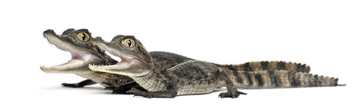 Spectacled Caimans, Caiman crocodilus. Also known as a the White Caiman or Common Caiman, 2 months old, against white background royalty free stock photo