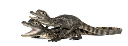 Spectacled Caimans, Caiman crocodilus Stock Images