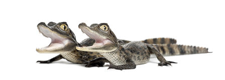 Spectacled Caimans, Caiman crocodilus Royalty Free Stock Photo