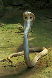 Spectacled cobra. Highly poisonous elapine Indian snake- The Indian cobra (Naja naja) also known as the Spectacled cobra, Asian cobra or Binocellate cobra is a Stock Image