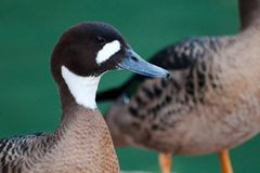 Spectacled Duck. Is an endemic bird in Chile and Argentina Stock Photo