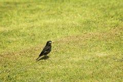 Spectacled dzierżymorda ptak Zdjęcia Stock