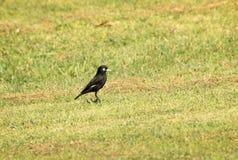Spectacled dzierżymorda ptak Obraz Royalty Free