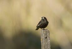 Spectacled dzierżymorda ptak Zdjęcie Royalty Free