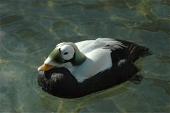Spectacled Eider Royalty Free Stock Images