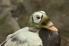 Spectacled eider duck Stock Photography