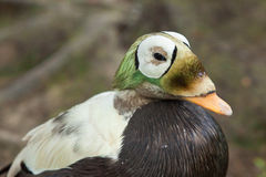 Spectacled Eider duck Stock Photos