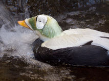 Spectacled Eider Stock Photography