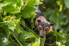 Spectacled Flying Fox Fruit Bat With Passionfruit Vines stock photography