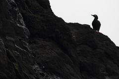 Spectacled guillemot. Sooty guillemot. Cepphus carbo Stock Photography