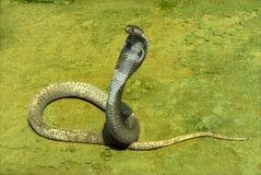 Spectacled kobra Zdjęcie Stock