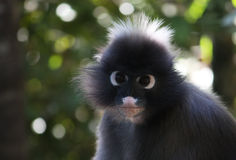 Spectacled Langur. Trachypithecus Obscurus - Portrait Royalty Free Stock Photography