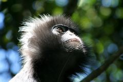 Spectacled Langur. Staring into the forest canopy stock image