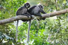 Spectacled langur on branch Stock Photos
