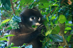 Spectacled langur eating leaves, Ang Thong National Marine Park, Royalty Free Stock Images