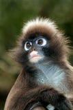 Spectacled langur monkey portrait Royalty Free Stock Photo